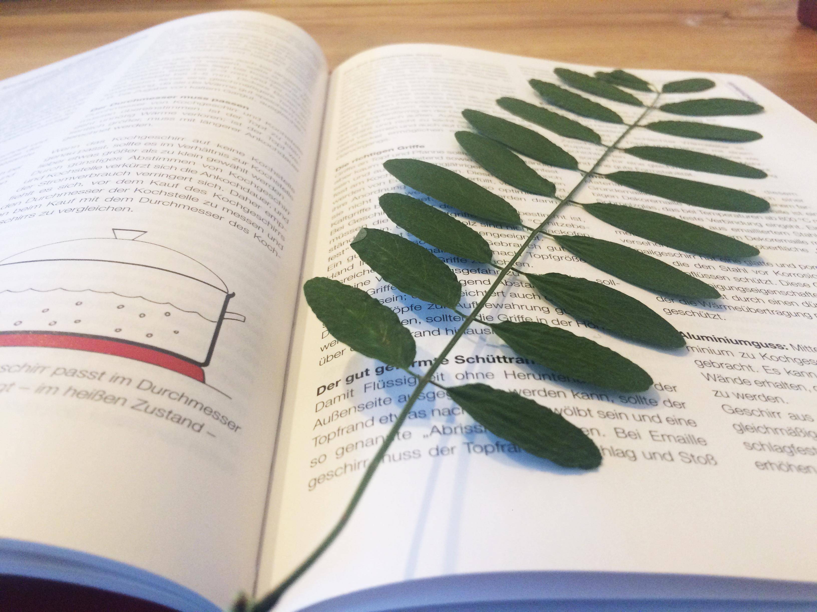 Getrocknete Robinie fuer Herbarium
