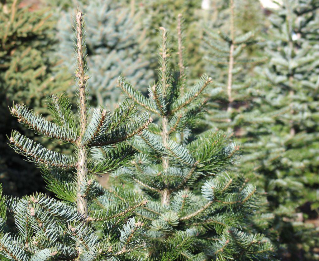 Weihnachtsbaum Leihen