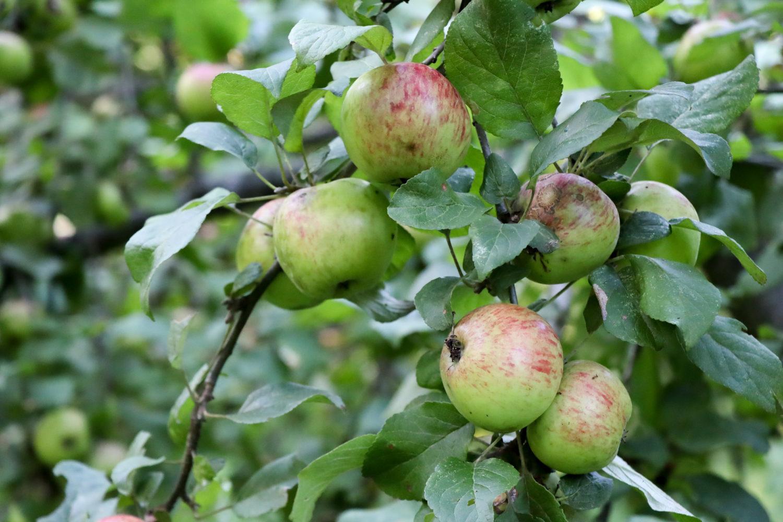 Most-have der Saison: Zu Besuch bei der Mobilen Apfelpresse